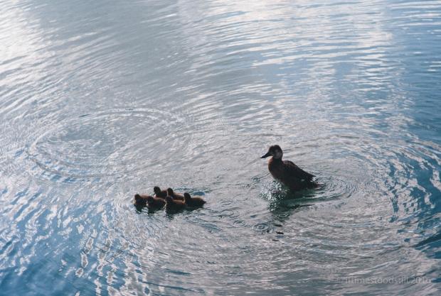 Ducklings-6